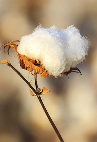 Cotton-P